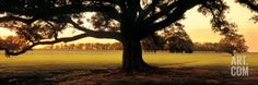 Oak Tree at Sunset, Louisiana Wall Decal by Panoramic Images at Art.com