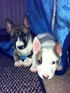 Rocko(white) & Nina(brindle) Brother & sister love <3 #english bull terrier