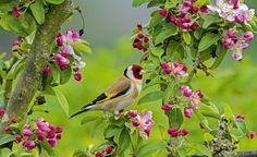 Ein farbenfroher Gast ist der Distelfink.Er lässt sich gern in Gesellschaftvon Artgenossen in Bäumen nieder. ImSpätsommer freut er sich über nichtabgeschnittene samentragende Stauden