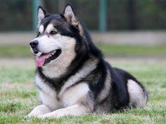 Alaskan Malamute Dog Breed .