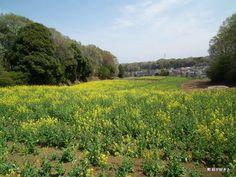 Nanakuniyama, Machida, Tokyo 七国山の菜の花畑