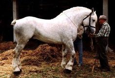 The Boulonnais weighs between 1,400 and 1,700 pounds and stands between 15.3 and 16.3hh. It comes from northwest France. It is mainly bred for the meat market and is sometimes known as the 'white marble horse' because of its thin skin and fine coat, a legacy from its Arabian forebears. Barb and Andalusian blood also features in its background.