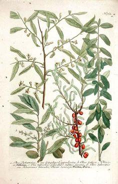Olive Tree botanical