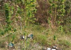 Piante di marijuana nella foresta Carpaneta