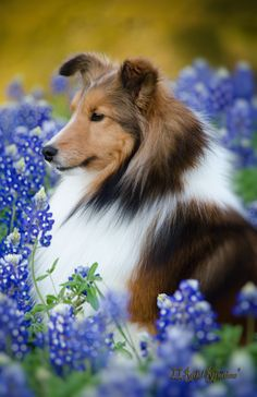 Mia in the Texas Blue Bonnets