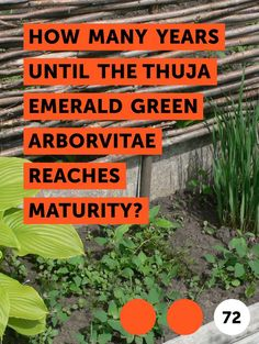 Learn How Many Years Until the Thuja Emerald Green Arborvitae Reaches Maturity? Arborvitae Landscaping, Privacy Landscaping, Thuja Smaragd, Emerald Green Arborvitae, Thuja Occidentalis, Privacy Hedge, How Many Years, Foundation Planting, Evergreen Shrubs