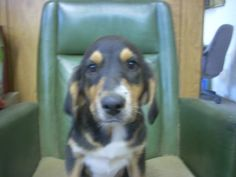 # 6 URGENT! ( 3, 10 WEEK OLD PUPS,2-M, 1-F) is an adopted Hound Dog in Carrollton, OH. #6 URGENT! Available for a limited time from the Carroll County Dog Pound, 2185 Kensington Rd. NE, Route 9, Carr...