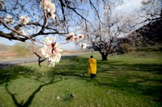 Kars'ta kayısı ağaçları çiçek açtı.  Kars'ın Sarıkamış ilçesine 45 kilometre uzaklıkta, Aras Nehri kıyısında, bin 445 rakımda bulunan Kalebaşı köyünde kayısı ağaçları çiçek açtı. Kars bölgesinde en verimli topraklara sahip olan Kalebaşı köyünde, kavun, karpuz, salata, domates, elma, armut ve kayısı gibi birçok sebze ve meyve yetişiyor. Yaklaşık 3 ay süren ve ılıman geçen kış mevsiminin ardından meyve ağaçları çiçek açtı.