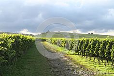 Green Vineyards - Download From Over 36 Million High Quality Stock Photos, Images, Vectors. Sign up for FREE today. Image: 59564854