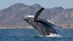 Mr. Enrique Peña Nieto, President of the United Mexican States: No to the cruise ship port in Bahia Magdalena, refuge of the gray whale