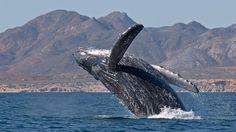 ballena (whale)