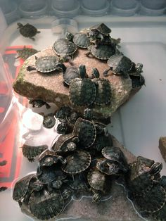 Turtles.....they look like my turtle!