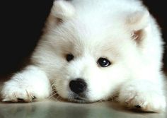 Siberian Samoyd- Niko and me will be getting one of these someday :) he just doesn't know that yet