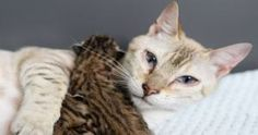 Rescue Bengal Mama Cat Is So Happy Her Last 2 Babies Survived and Now …