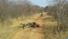 India Lost 51 Tigers in the First Five Months Since January 2019 Indian tigers have been in the crosshair for centuries and every time we hear the news of a… Sanjay Gandhi National Park, Project Tiger, Tiger Conservation, Save The Tiger, Wildlife Protection, Mangrove Forest, Bengal Tiger, Endangered Species