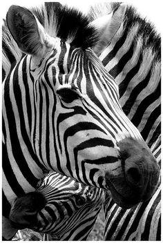 Zebra seeking refuge with mother