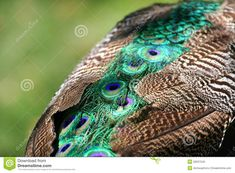 Male Peacock, Peafowl, Wildlife, Stock Photos, Indian, Bird, Animals, Bing Images, Color