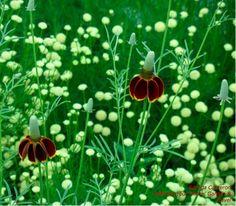Defining Your Home, Garden and Travel: Native Wildflower Ratibida Columnifera Repels Deer?