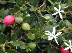 Carissa macrocarpa - Google Search Plants for high hedges Carissa macrocarpa (Amatangulu): a thorny shrub with glossy dark green leaves, pretty star shaped flowers and red fruit, forms an outstanding impenetrable hedge. Can be pruned or left to grow naturally.