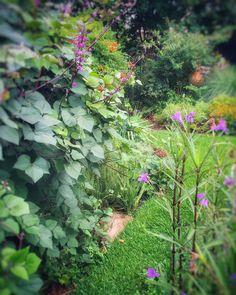 Jefferson vine hyacinth bean Mexican petunia backyard garden Fort Worth Texas 762445