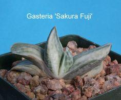 Gasteria Sakura Fuji