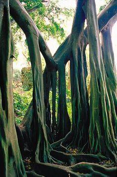 Bearded Fig Tree - Barbados