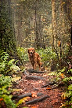 Leo in the forest Fox Red Labrador, Super Cute Puppies, Wolf Wallpaper, Dog Illustration, Kraken, Golden Retrievers, Dogs Of The World, Dog Photos, Beautiful Dogs