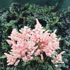 Astilbe Peach Blossom - shade