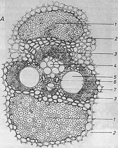 composition-bamboo-vascular-bundle.jpg