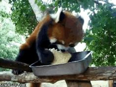 This sandwich thief reveling in all his glory. | The 28 Best Red Panda GIFs Of All Time