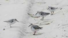 Sanderlings on Long Beach Island