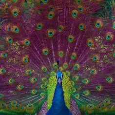 Peacock by Omar Parada . Peacock Painting, Peacock Decor, Art Clipart, I Cool, Paint Shop, Colorful Birds, Acrylic Art, Zebras, Beautiful Birds