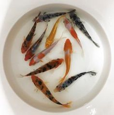 11 Best Pond Fish (Koi, Orfe, Goldfish, Loaches) images in