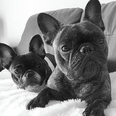 Remy and Pierre, French Bulldogs❤❤, @pierrebrando.com