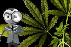 Hat gehört, dass in 2 amerikanischen Bundesstaaten Marihuana legalisiert wird. Glauben seine Fans, dass es bei uns auch freigegeben werden sollte? Für eine Legalisierung sprechen sich 42% der 1.104 Befragten aus. 58% möchten nicht, dass Marihuana legalisiert wird. Findet ihr, dass Marihuana bei uns legalisiert werden sollte? Warum sollte es eurer Ansicht nach legalisiert werden oder was spricht gegen eine Legalisierung?