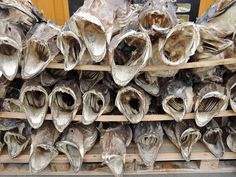 Stockfish from Lofoten, Norway