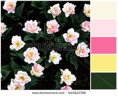 Spring pallete of colors. Tulips in full bloom. Harmonious blend of colors. Color mixing.