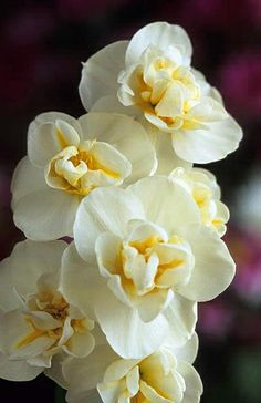 ✯ Narcissus 'Cheerfulness'