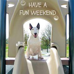 have a fun weekend bull terrier