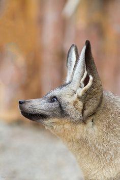 Bat-Eared Fox by Mark Dumont