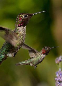 Anna's Hummingbirds by Kathleen Bishop