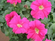200 Petunia DREAMS ROSE Live Plants Plugs Garden Home Patio Planters 385