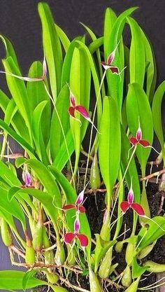 Orquídea Bulbophyllum blumei - Espécie Pura - Planta Adulta - Jardim Exótico - O maior portal de mudas do Brasil.