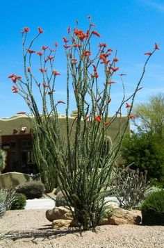 OCOTILLO - a drought-deciduous shrub uniquely suited for the desert. It provides a vital source of nectar for hummingbirds as they migrate up from the south through the desert in spring.