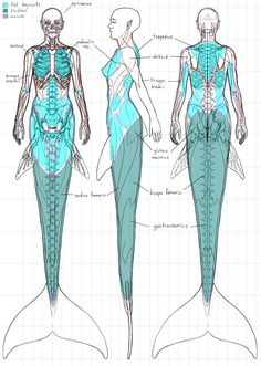 Anatomy of a mermaid.