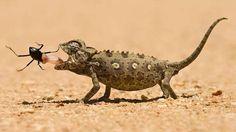Los camaleones tienen una de las armas más curiosas del reino animal: una larga lengua pegajosa que ... - Externa