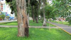 Av. San Borja Norte. Árbol.