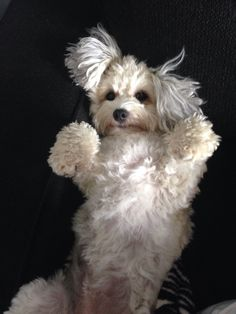 Visit the post for more. Big Dog Little Dog, Big Dogs, Cute Dogs, Dogs And Puppies, Maltese Dog Breed, Maltipoo Dog, Animals And Pets, Baby Animals, Cute Animals