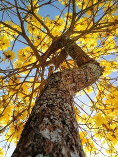 Ipê amarelo (imagem grande)