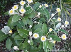pachystegia insignis - Google Search